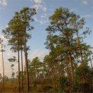 60pcs Pinus Elliottii Seeds , Pinus Elliottii Engelm, Slash Pine, Pine And Cypress Tree Seeds