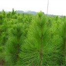 100pcs Pinus Elliottii Seeds, Pinus Elliottii Engelm, Slash Pine, Pine And Cypress Tree Seeds