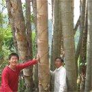 50pcs Dragon Bamboo Seeds, Huge Bamboo Plant Seeds, Dendrocalamus sinicus