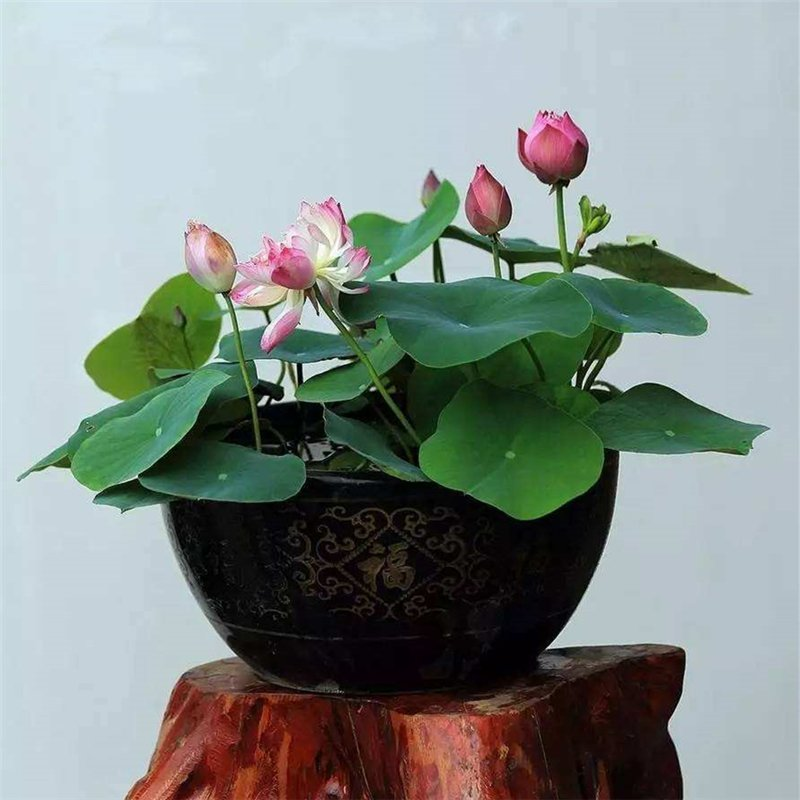 20pcs Bowl Lotus Seeds, Aquatic Plant Seeds, Nelumbo Nucifera