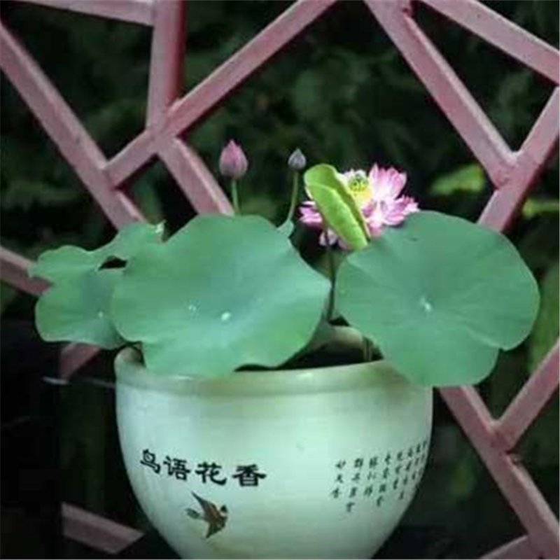50pcs Bowl Lotus Seeds, Lotus Flower, Aquatic Plant Seeds, Nelumbo Nucifera