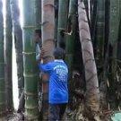 500pcs Dragon Bamboo Seeds, Huge Bamboo Plant Seeds, Dendrocalamus sinicus