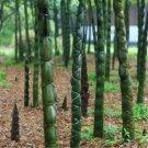200pcs Buddha Belly Bamboo Seeds, Bamboo Plant Seeds, Bambusa Ventricosa McClure