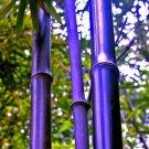 200pcs Black Bamboo Seeds, Bamboo Plant Seeds, Phyllostachys Nigra