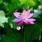 20pcs Lotus Seeds, Lotus Flower, Water Lily, Aquatic Plant Seeds, Nelumbo Nucifera