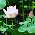 100pcs Lotus Seeds, Lotus Flower, Water Lily, Aquatic Plant Seeds, Nelumbo Nucifera
