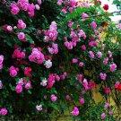 50pcs Rose Flower Seeds, Flower Plant Seeds, Vines Rose Rosa