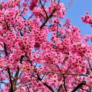 30pcs Mountain Cherry Blossom Seeds, Cerasus Campanulata, Prunus Campanulata Maxima