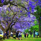 500pcs Jacaranda Seeds Jacaranda mimosifolia Blue Tree Seeds