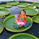 20pcs Royal Water Lily Seeds, Victoria Amazonica, Aquatic Flower Plant, Victoria Regia Lindl.