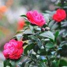 10pcs Camellia Seeds, Tea Flower Seeds, Garden Floral Plant Seeds