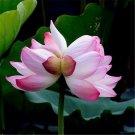 20pcs Twin Lotus Flowers Seeds, Aquatic Plant Seeds, Nelumbo Nucifera