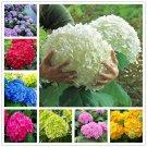 20 pcs/bag hydrangea seed, bonsai flower seeds china hydrangea perennial garden