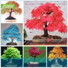 ZLKING 20 Pcs Blue Fire Maple Tree Seeds Bonsai Tree Seeds Rare Yellow Red Japan