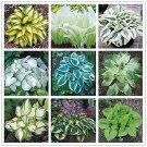 Egrow 100Pcs Plantain Lily Flower Seeds Green Yellow Hosta Plants Seeds Garden P