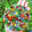100 pcs/bag Real mini succulent cactus seeds rare succulent perennial herb plant