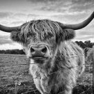 Scottish Highland Cattle Kyloe Animal Poster Fabric Silk Posters And Prints 24x36 Inches