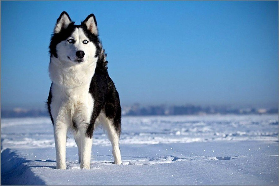 Snow Scenery Siberian Husky Dog Fabric Silk Posters And Prints Wall Art 24x36 Inches