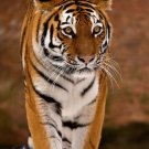 Tiger Wild Animal Fabric Silk Posters And Prints Home Decor Wall Art 24x36 Inch