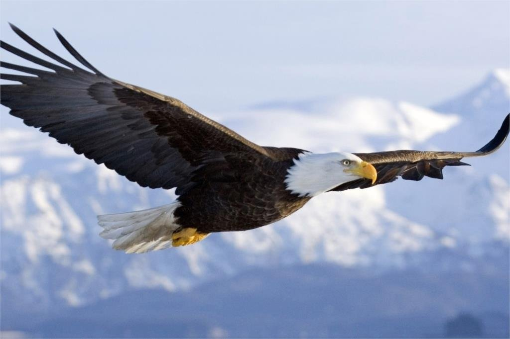 Flying Mighty Eagle Hawks Animal Fabric Silk Posters And Prints Home Decor Wall Art 24x36 Inch