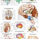 Brain Medical Anatomy Fabric Silk Posters And Prints Home Wall Art 24x36 Inch