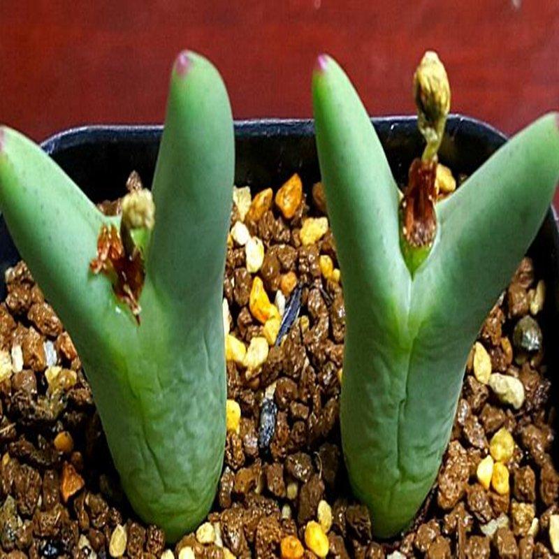 20Pcs a set C. bilobum leucanthum CR. 1270 Seed ProQgf