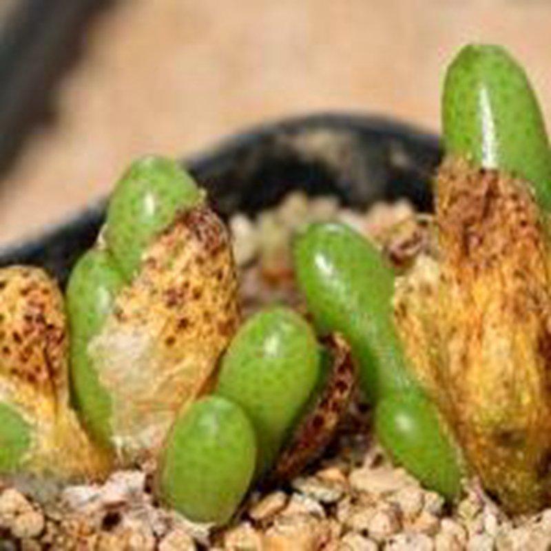 21Pcs A Set conophytum PVB 6784 seed