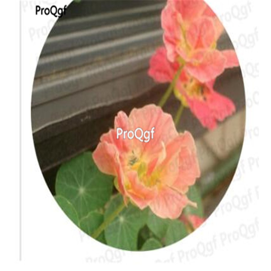 Prodgf 300Pcs A Set pink tropaeolum Majus Flower seed