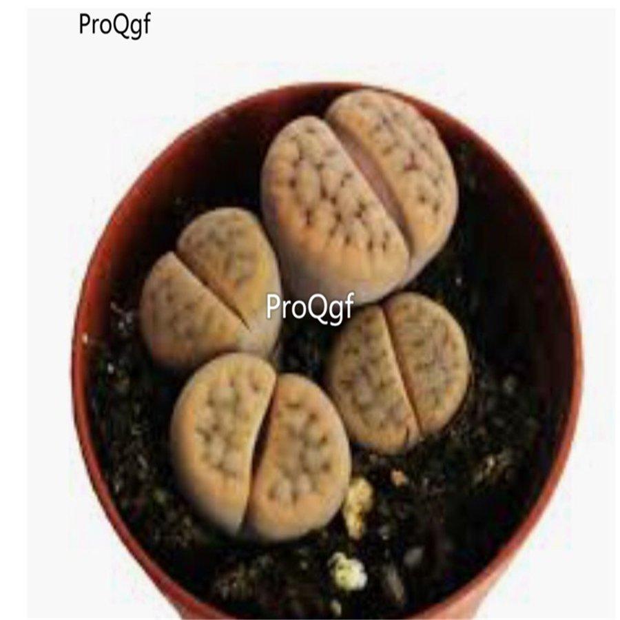 Prodgf 10Pcs A Set lithop leo lithop plant