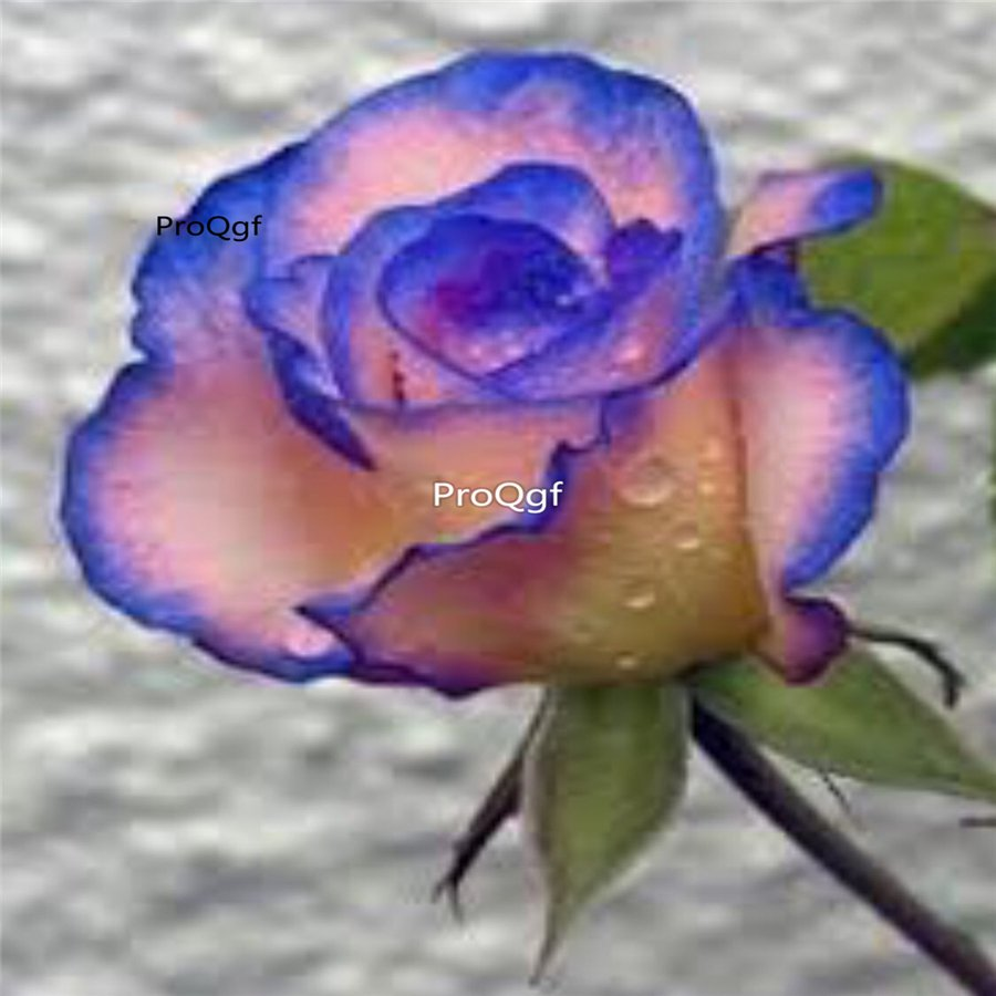 Prodgf 6000Pcs A Set pink with blue edge rose flower seed