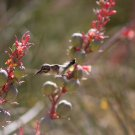 Hummingbird Flying To Red Yucca 1 in 3, Fine Art Photograph for Interior Design