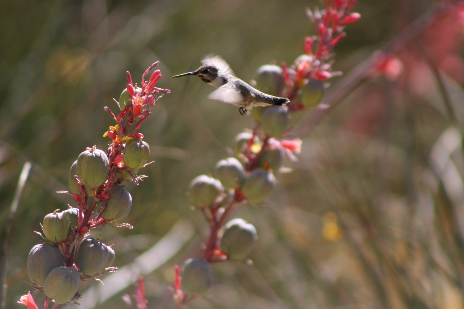 Hummingbird Flying To Red Yucca 2 in 3, Fine Art Photograph for Interior Design