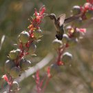 Hummingbird Flying To Red Yucca 3 in 3, Fine Art Photograph for Interior Design
