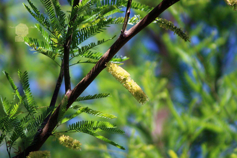 Closeup of Avocado Green Mesquite Tree Catkins, Fine Art Photograph for Interior Design