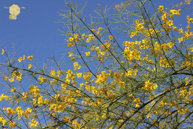 Palo Brea Tree in Bloom against Desert Sky, Fine Art Photograph for Interior Design
