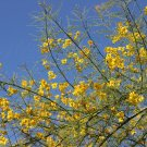 Palo Brea Tree in Bloom against Desert Sky, Fine Art Photograph for Interior Design