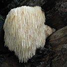 Hericium erinaceus Mushroom Mycelium. Biological Mycelium.