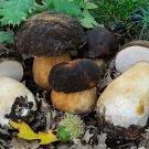 Boletus aereus Mushroom Mycelium. Biological Mycelium.