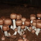 Brazilian agaric Mushroom Mycelium. Biological Mycelium.