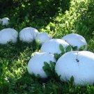 Lycoperdon pinophilus Mushroom Mycelium. Biological Mycelium.