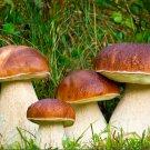 Boletus edulis Mushroom Mycelium Plug Spawn 20 pieces - Grow Edible Gourmet