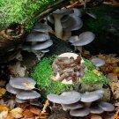Blue Pleurotus pulmonarius Mushroom Mycelium Plug Spawn