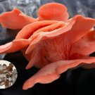Rose Pleurotus pulmonarius Mushroom Mycelium Plug Spawn