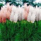 1200 pcs Pampas Grass Seeds Cortaderia selloana flower seeds aquatic plants #3