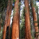 100 PCS rare giant redwood seeds,fast growth, rare tree seeds for garden