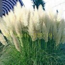 1200 pcs Pampas Grass Seeds Cortaderia selloana flower seeds aquatic plants #4