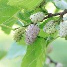 Morus Alba (white mulberry) - 20 Seeds