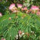Albizia julibrissin rosea (Pink silk tree) - 100 Seeds