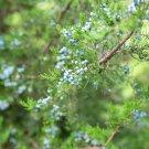 Juniperus communis (Juniper) - 30 Seeds