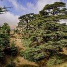 Cedrus libani (Lebanon Cedar) - 10 Seeds